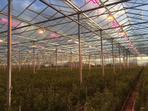 Horticultural SSL news: LEDs spur lily growth in Holland, lettuce in Maryland